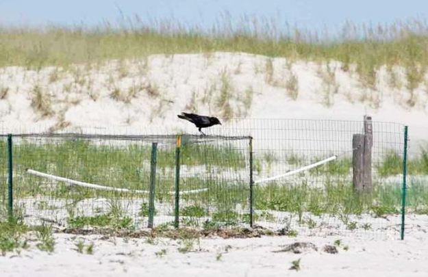 dogblog-crow on exclosure