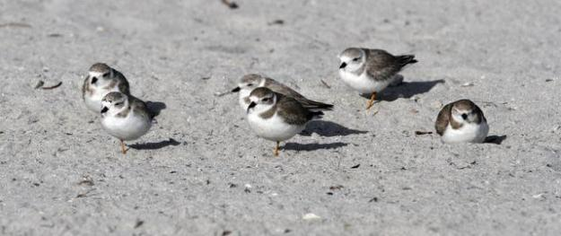 Piping Plovers mingle on Key Biscayne. WALTER MICHOT / MIAMI HERALD STAFF.