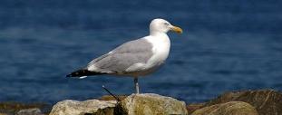 dogblog--seagull